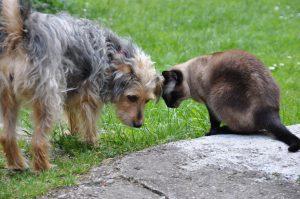 MTG-Katzengesellschaft-Thai mit Hund
