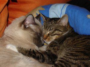MTG-Katzengesellschaft-Thai mit Hauskatze-Börge