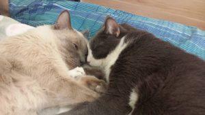 MTG-Katzengesellschaft-Thai mit Hauskatze-Bo & Börge