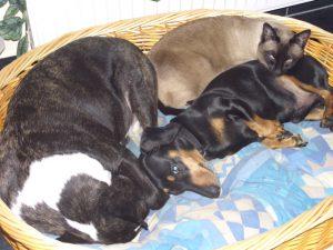 MTG-Katzengesellschaft-Thai mit Hund-Henry