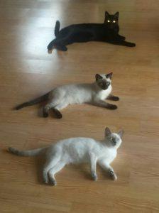 MTG-Katzengesellschaft-Thai mit Hauskatze