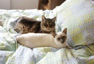 MTG-Katzengesellschaft-Thai mit Hauskatze-Isabeau