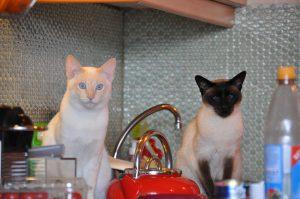 MTG-Katzengesellschaft-Thai mit Siam-Quirino & Siam
