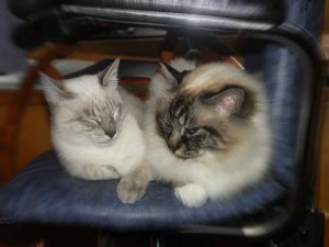 MTG-Katzengesellschaft-Thai mit Hl. Birma