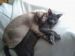 MTG-Katzengesellschaft-Thai mit Russisch Blau-Wesley Watson & Russisch Blau